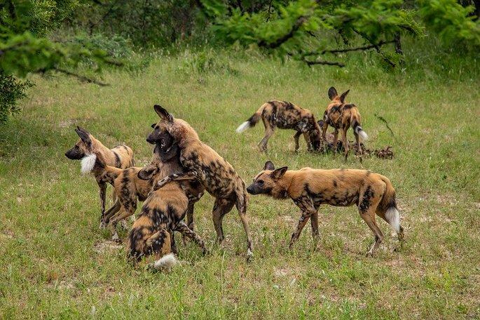 O Mabeco também conhecido como cão-selvagem-africano, caçam em bando e são muito ferozes.